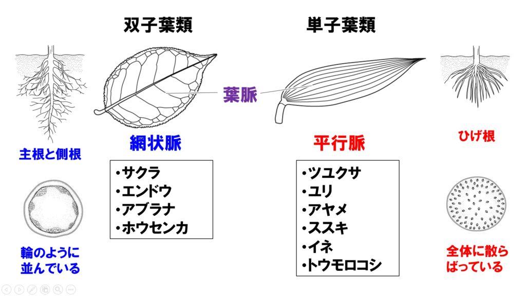 葉のつくり1