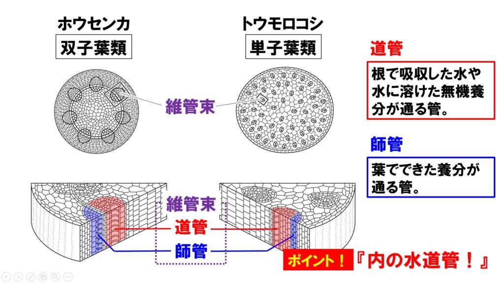 茎の断面図