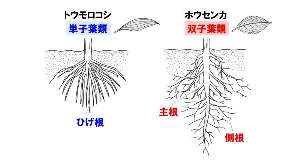 根のつくり1