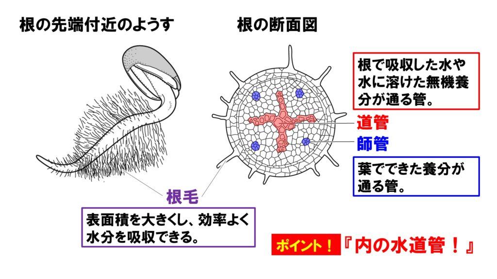 根毛と根の断面図