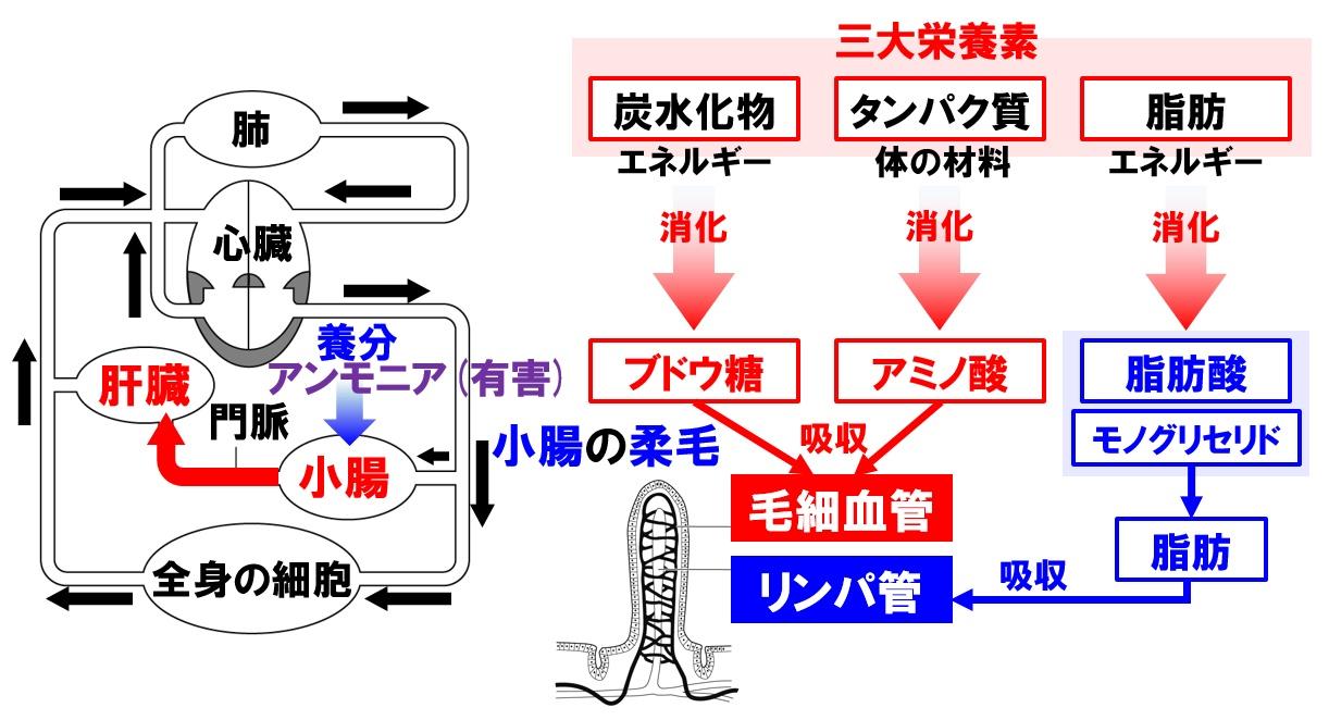 肝臓と血液循環