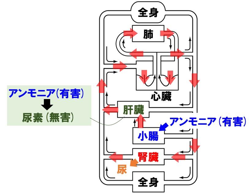 腎臓と循環