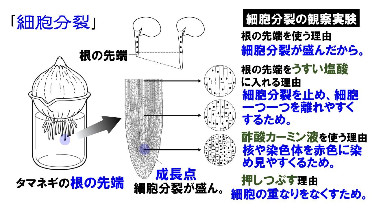 タマネギの根の細胞分裂