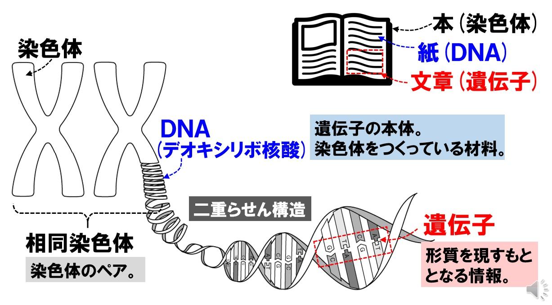 遺伝子とDNAの説明