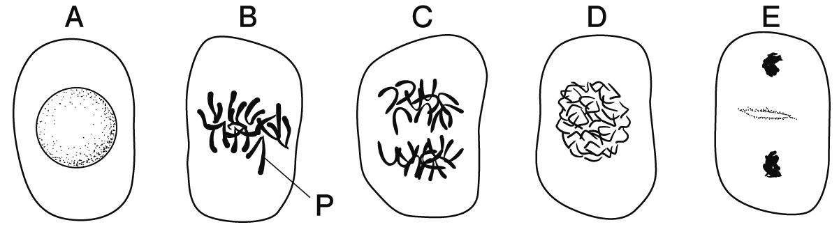 体細胞分裂