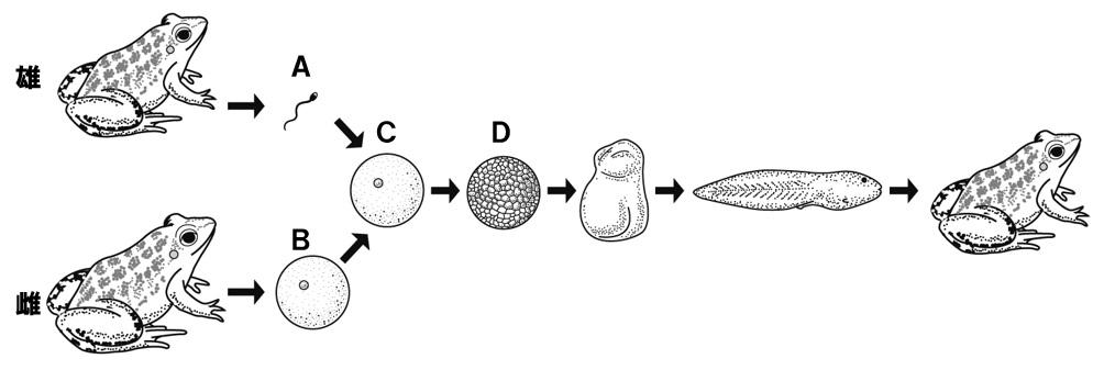 カエルの有性生殖